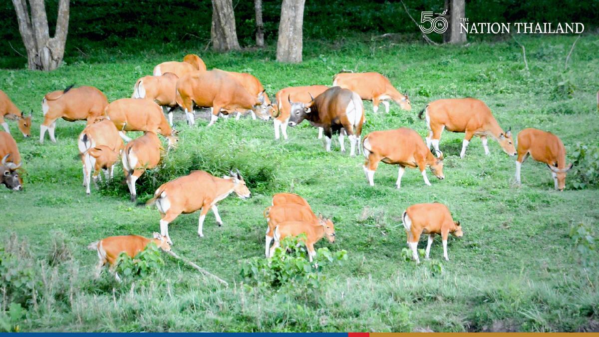 Herd of rare banteng spotted in Huai Kha Khaeng