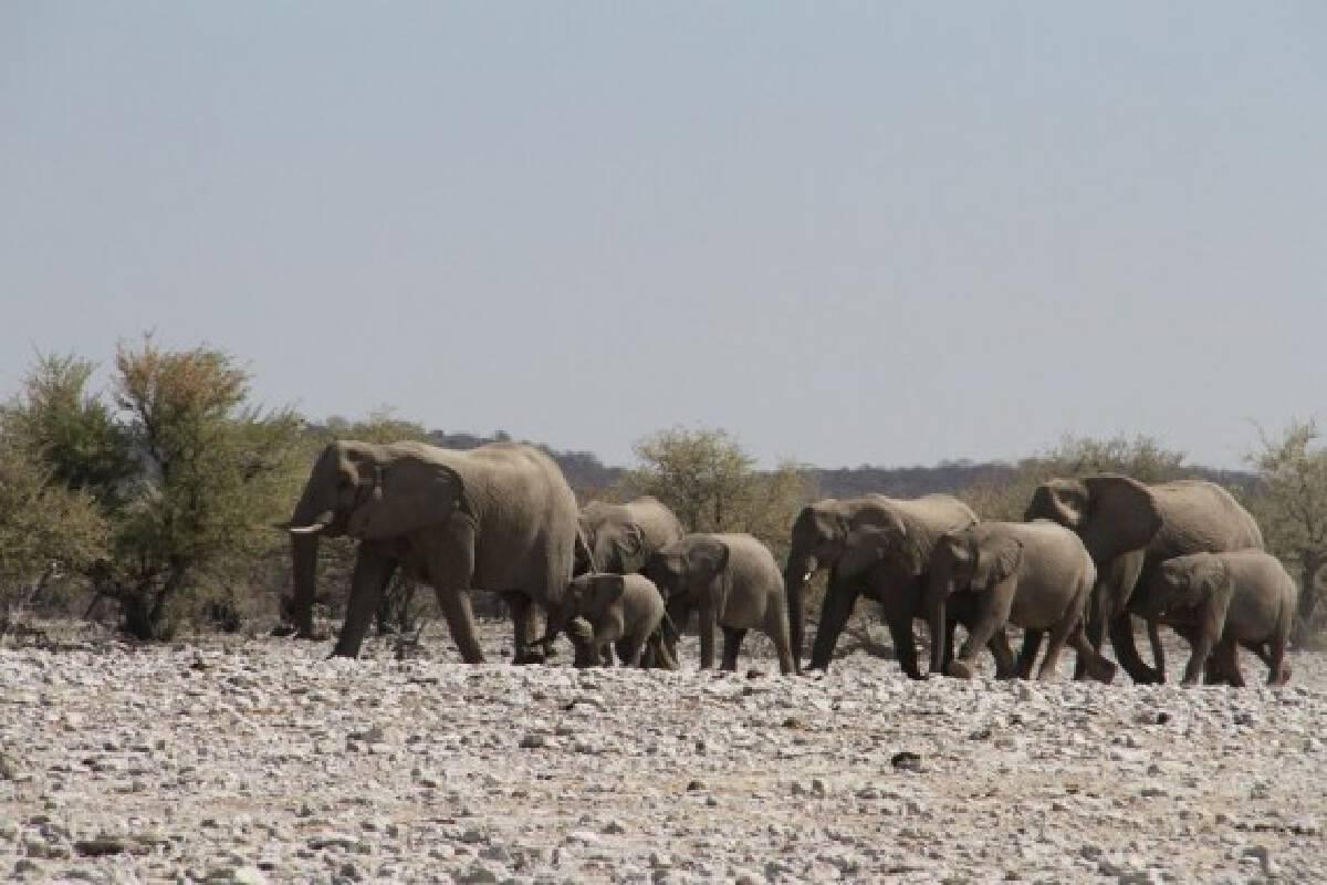 File photo taken on Aug. 26, 2016 shows elephants at the Etosha National Park, northwestern Namibia.