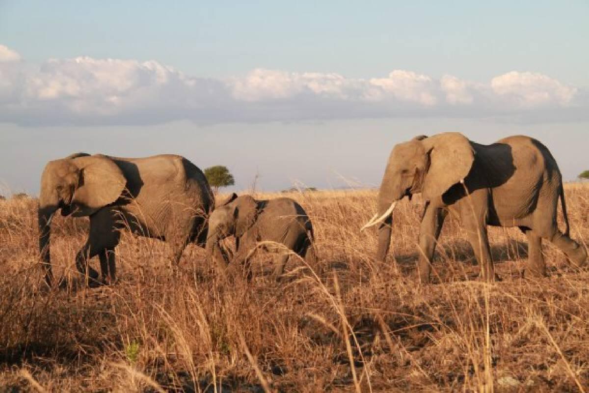 File photo taken on November 14, 2017 shows elephants at Mikumi National Park near Morogoro, Tanzania.