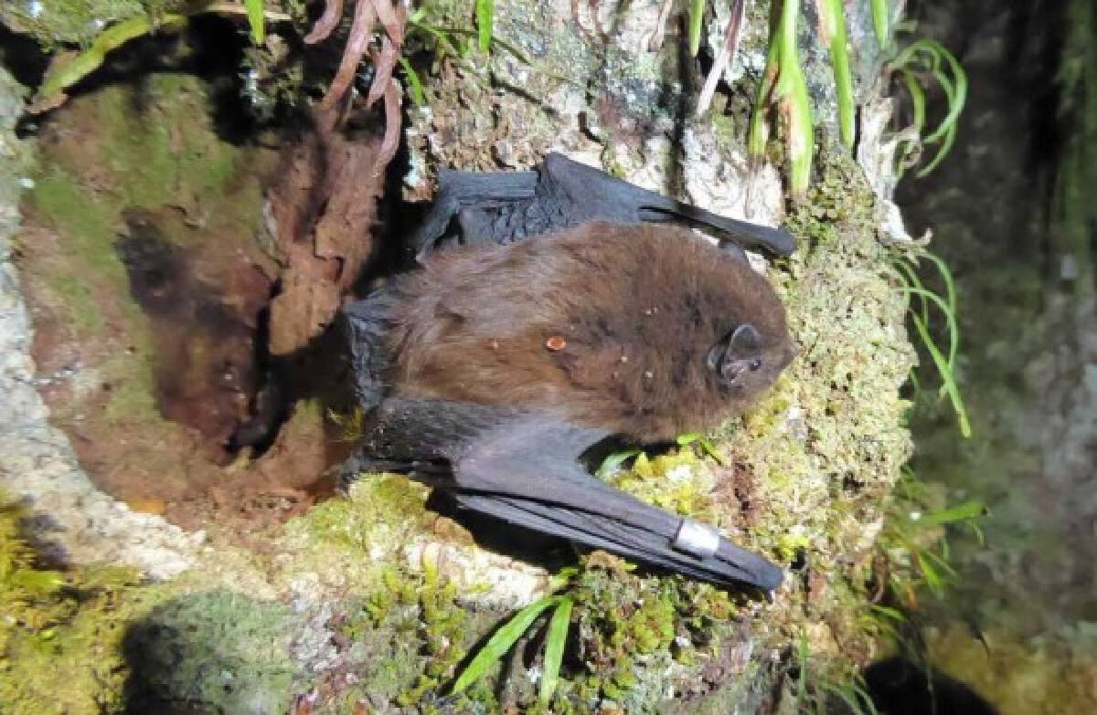 Photo shows pekapeka, endangered long-tail bat, in New Zealand.