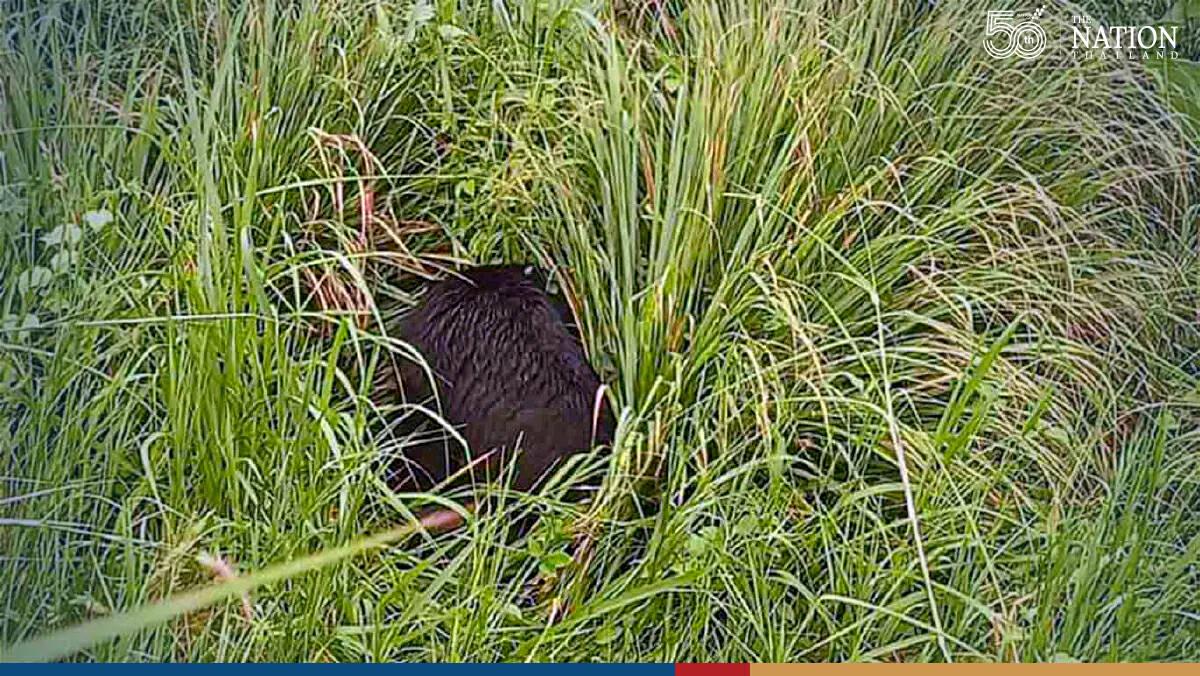 Bear with failing eyesight rescued from Sa Kaew village