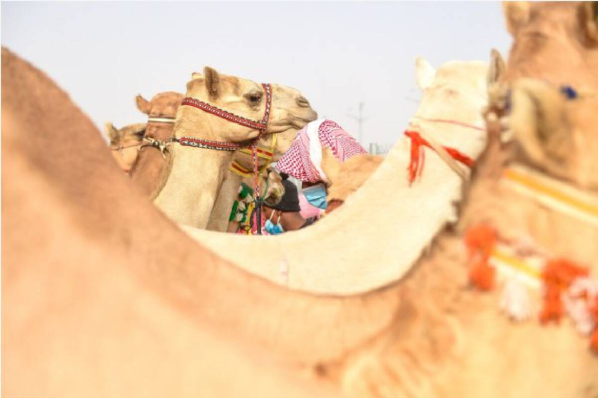 Camels are seen at the Crown Prince Camel Festival held in Taif, Saudi Arabia, Sept. 10, 2021.