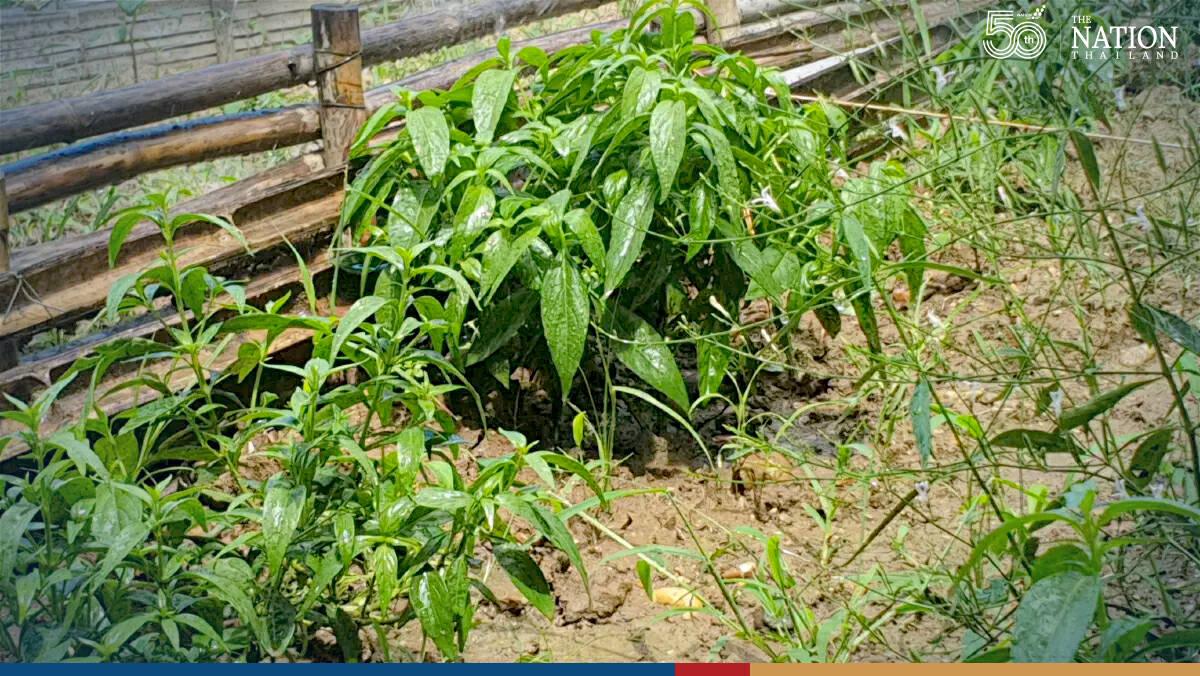 Chiang Mai reaping 1-tonne harvest of anti-Covid herb Fah Talai Jone