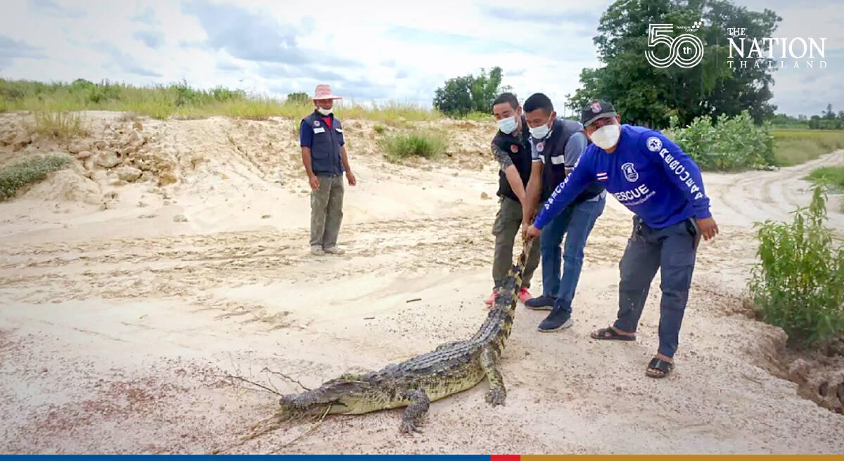Dramatic crocodile capture in Kamphaeng Phet
