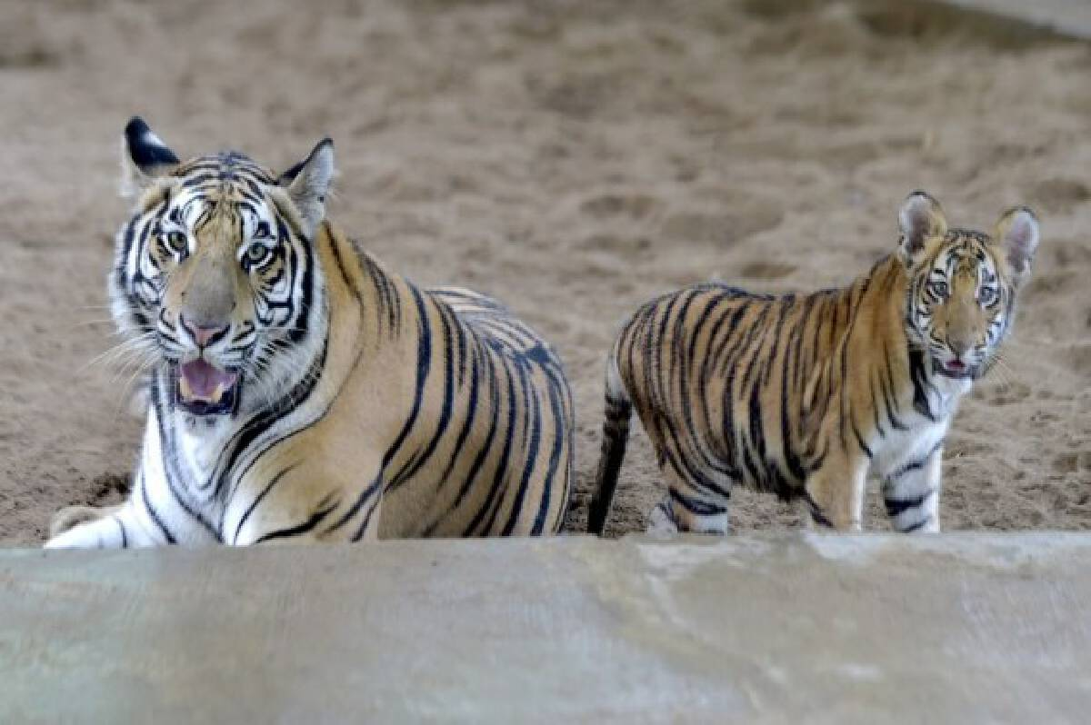 Royal Bengal tigers are seen at the  Bangladesh National Zoo in Dhaka, capital of Bangladesh, on Oct. 3, 2021, the eve of World Animal Day. (Xinhua)