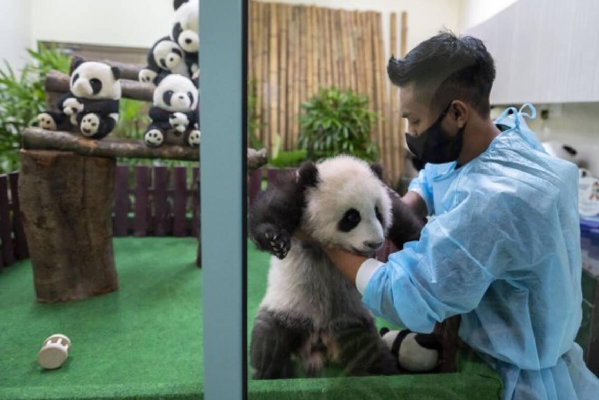 A zookeeper presents a giant panda cub to the public during its debut at Zoo Negara near Kuala Lumpur, Malaysia, Oct. 1, 2021. (Photo by Chong Voon Chung/Xinhua)