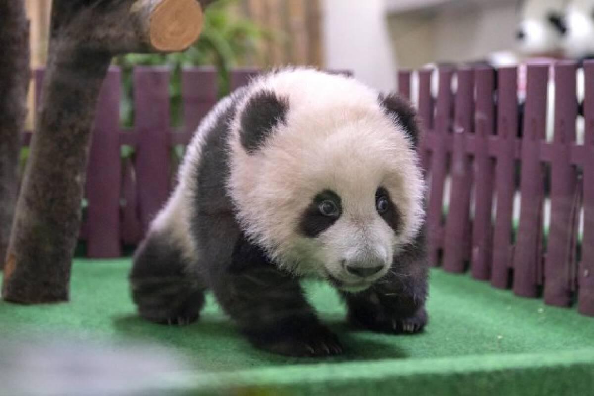 A giant panda cub is seen at Zoo Negara near Kuala Lumpur, Malaysia, Oct. 1, 2021. (Photo by Chong Voon Chung/Xinhua)