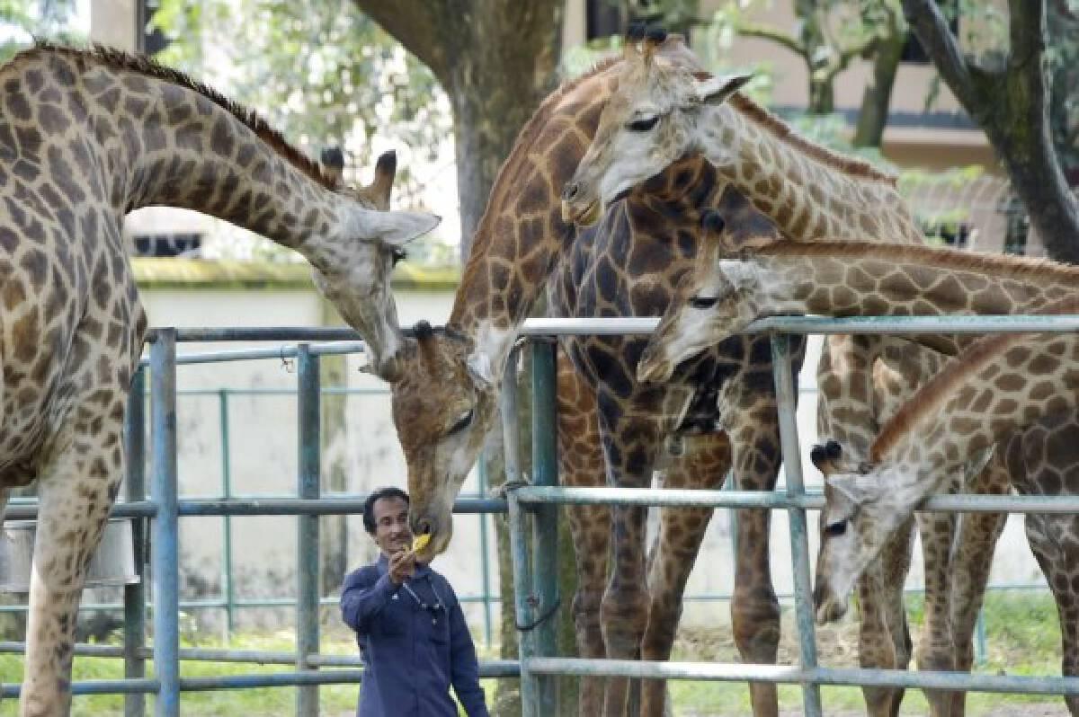 A staff member feeds a giraffe at the Bangladesh National Zoo in Dhaka, capital of Bangladesh, on Oct. 3, 2021, the eve of World Animal Day. (Xinhua)