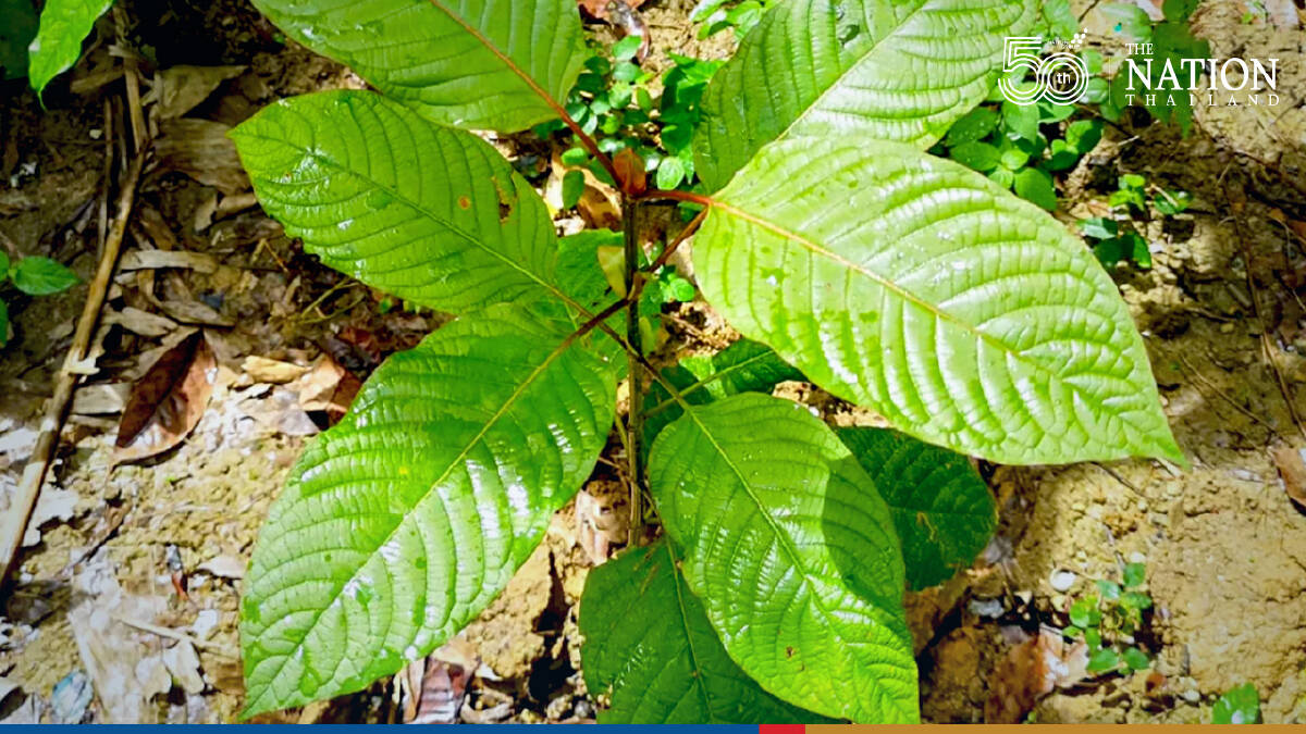 Kratom removed from narcotics list, paving way for new cash crop